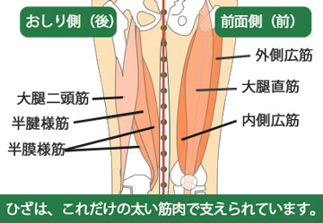 ひざの裏前筋肉
